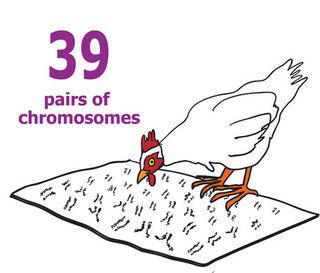 Chicken w-chromos